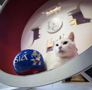 St. Petersburg'daki Ermitaj müzesinin 'kahin' kedisi Aşil