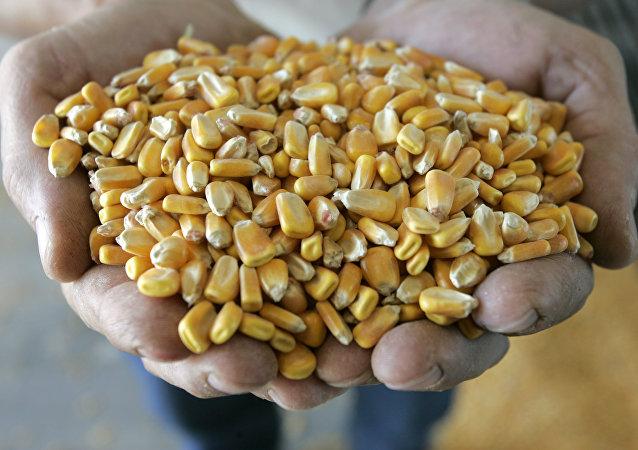 Mısır, nişasta bazlı şeker yapımında kullanılıyor