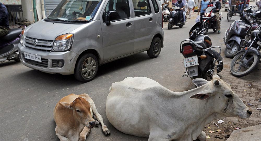Hindistan-İnek