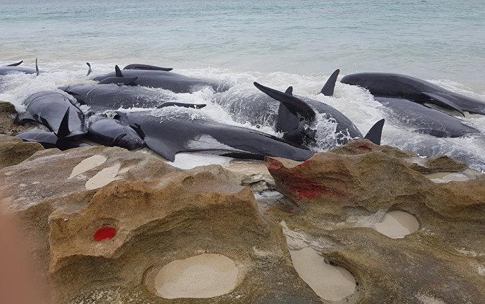 Avustralya'da 150 balina kıyıya vurdu
