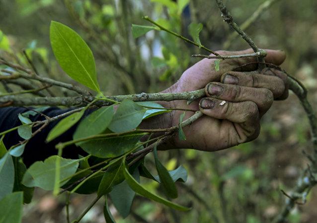 Kolomibya'da koka bitkisi hasadı yapan bir çiftçi