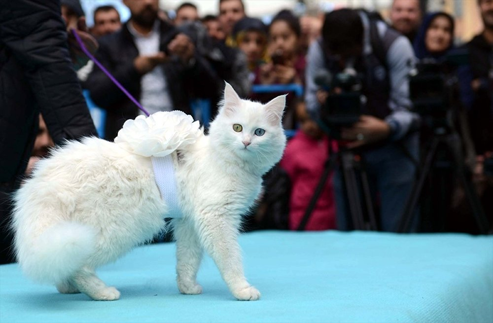 Van Yüzüncü Yıl Üniversitesi (YYÜ) tarafından 3.'sü düzenlenen Van Kedisi Güzellik Yarışmasında en güzel kedi seçildi.