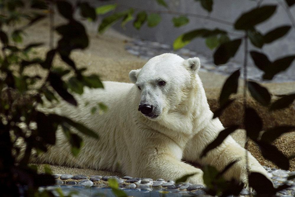 Inuka'nın son aylarda hareketlerinin yavaşladığı ve eskisi gibi oyunlara ilgi göstermediği de vurgulandı. Inuka 26 Aralık 1990'da Singapur Hayvanat Bahçesi'nden doğdu ve iklimi kontrol edilen özel bölmede yaşadı. Babası Nanook vahşi doğada yakalanmış ve Kanada'dan getirilmişti. Annesi Sheeba ise Almanya'daki bir hayvanat bahçesinden getirilmişti.