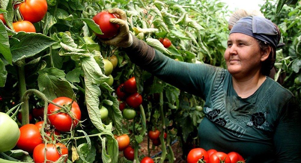 Rusya'nın kararı domates üreticilerini sevindirdi