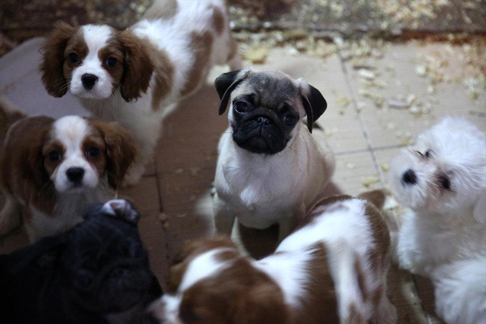 Kaçak yollardan getirilen köpekler ihaleyle satılacak