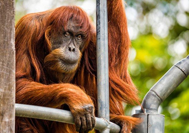 Dünyanın en yaşlı Sumatra orangutanı Puan öldü