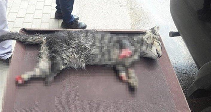 4 ayağı kesilmiş yavru kedi