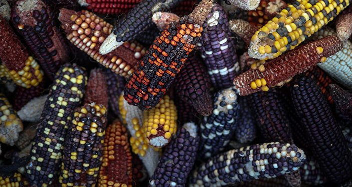 ABD'nin Teksas A&M Üniversitesi'nde yetiştirilen yeni tür mısırlar