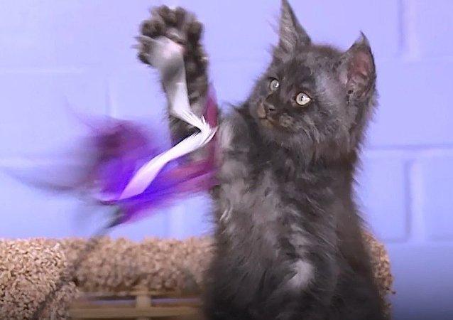 İnsan yüzlü kedi