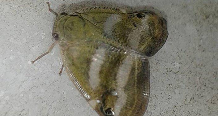 'Yalancı kelebek' olarak da anılan 'Ricania Japonica' adlı zararlı böcek türü