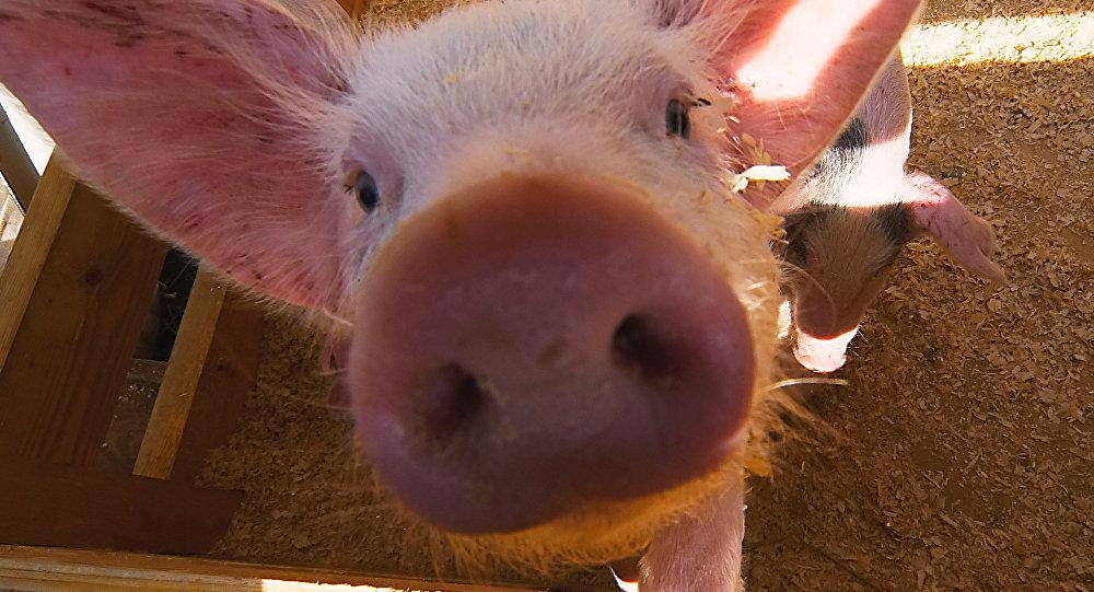 yavru domuz
