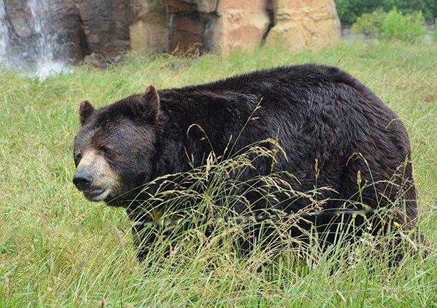 Siyah ayı