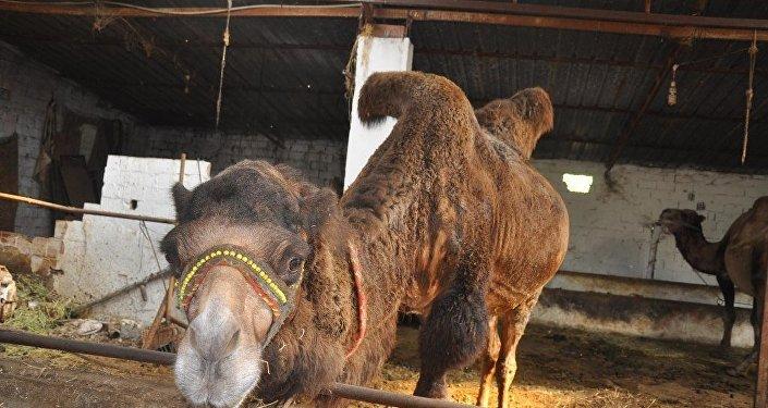 Kurbanlık develeri en çok Suriyeliler tercih ediyor