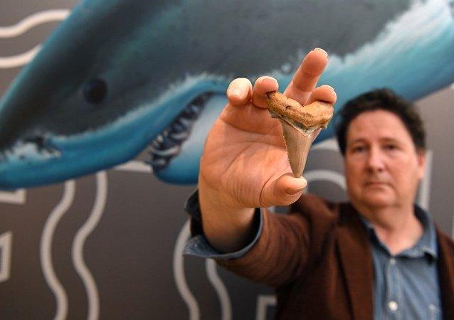 Avustralya'da 25 milyon yıllık köpek balığı dişi bulundu