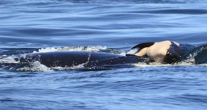 Ölü yavrusunu 2 hafta boyunca taşıyan katil balina 'J35'
