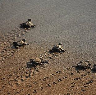Muğla'nın Ortaca ilçesinde Deniz Kaplumbağası Araştırma Kurtarma Rehabilitasyon ve Bilgilendirme Merkezinde (DEKAMER) tedavileri tamamlanan 4 yetişkin caretta caretta denize bırakıldı.