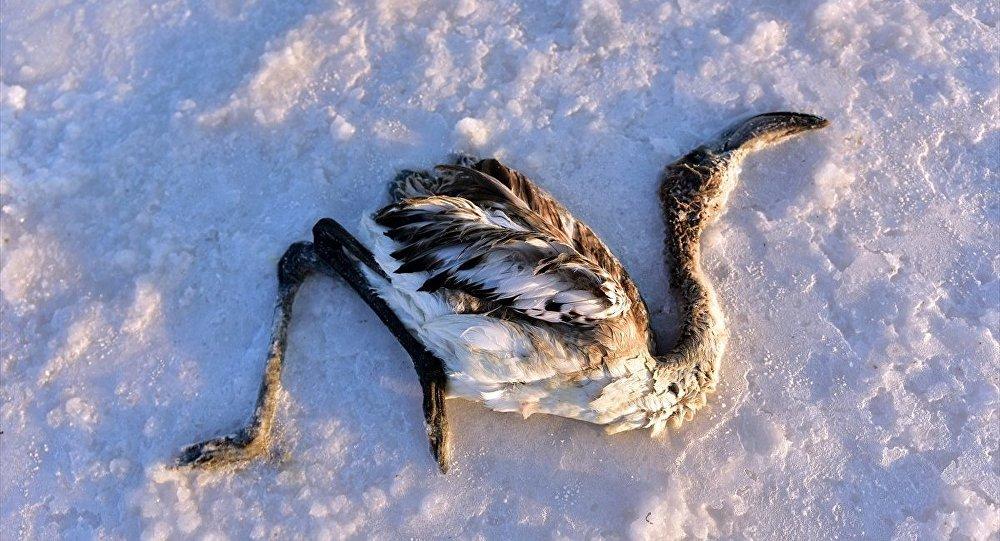 Tuz Gölü'nde çok sayıda yavru flamingo yaşamını yitirdi