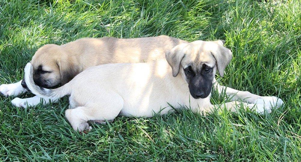 Konya'da ayağı, patisi kesilmiş iki yavru köpek bulundu