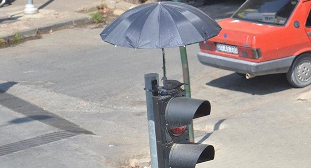 İzmir'de trafik ışıklarının üstüne yuva yapan kumruya şemsiyeli koruma