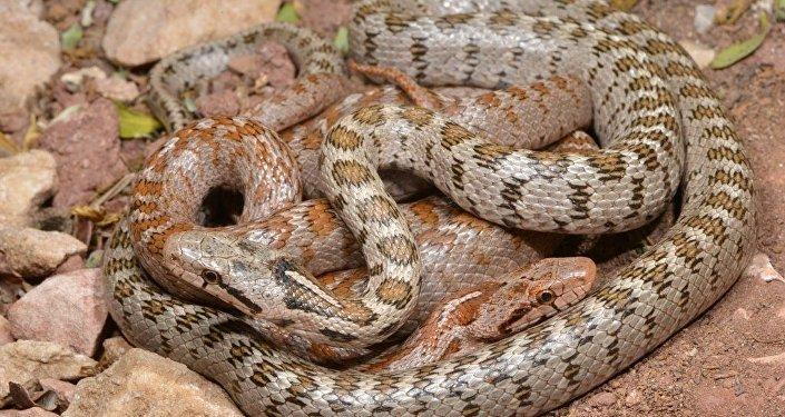 Kafkas yılanının yeni bir alt türü: 'Lyciensis: Likyalı