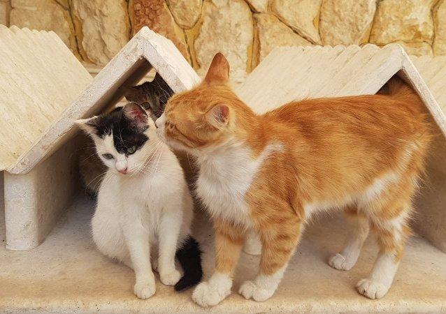 Suriyeli kedi sever