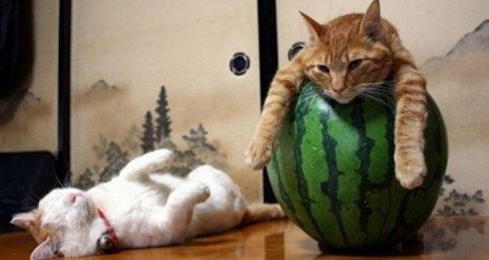 Tembel kedi