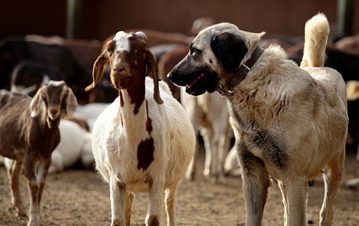 İtalya'da kurt saldırıları sonrası çağrı: 'Sivas Kangal alın'