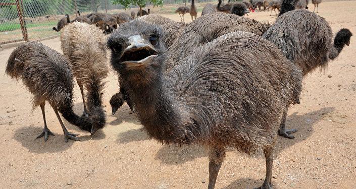 Avustralya'ya özgü endemik bir kuş türü olan emu