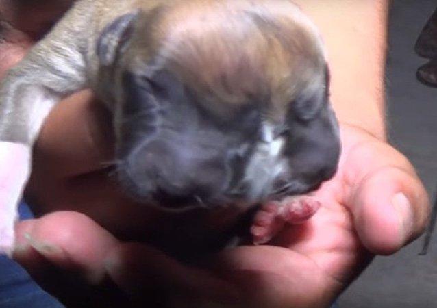 Peru'da çift başlı köpek doğdu