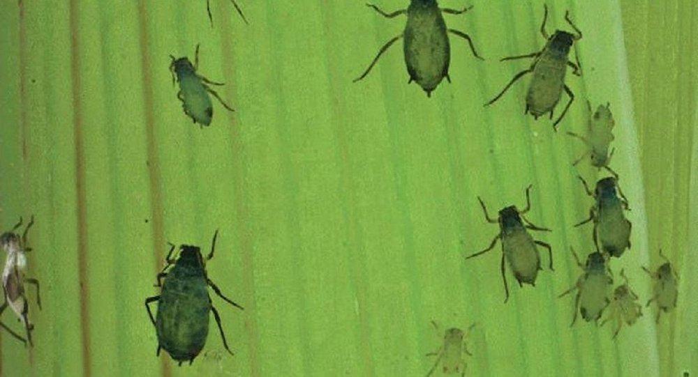 ABD böceklerden biyolojik silah üretiyor