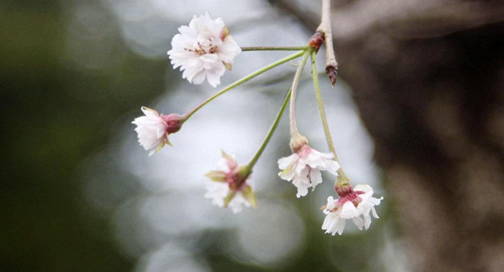 Japonya'da kiraz çiçekleri 6 ay erken açtı
