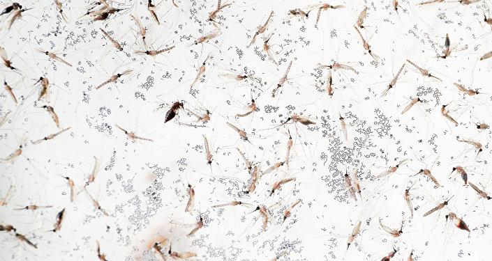 Anofel cinsi sivri sinekler