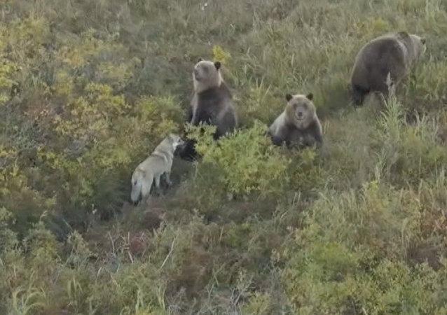 Rusya'da evsiz köpeğin boz ayılarla şaşırtan dostluğu