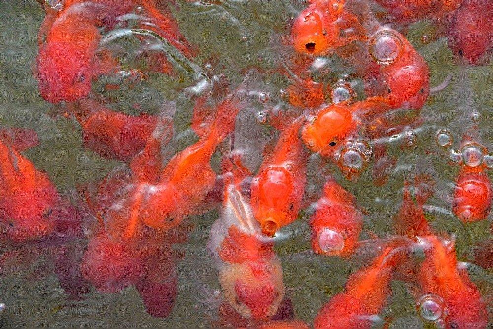 Serada yetiştirilen süs balığı