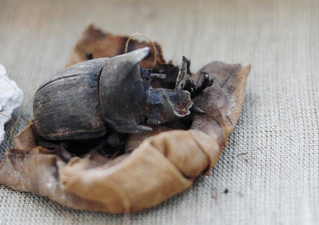 Antik Mısır'ın kutsal böceğinin mumyası bulundu