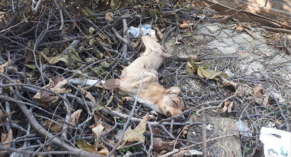 Sakarya'nın Pamukova ilçesinde patisi kesik halde bulunan köpek, tedavi altına alındı.