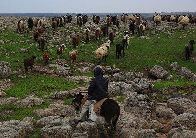 'Kuşçu' olarak bilinen Mehmet Salih Arslan'ın koyun ve keçileri