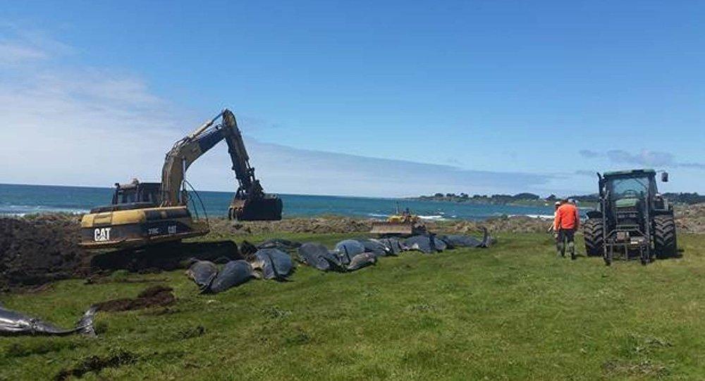 Yeni Zelanda'da kıyıya vuran 150 balina öldü