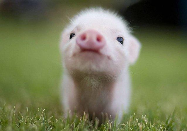 domuz yavrusu