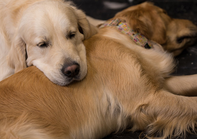 Golden Retriever cinsi köpek