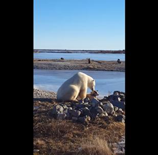 Kızak köpeğinin başını okşayan kutup ayısı