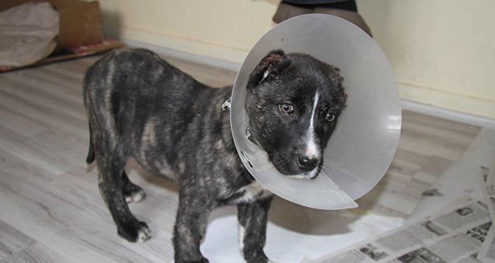 Yavru köpek, kulakları kesilmiş halde bulundu