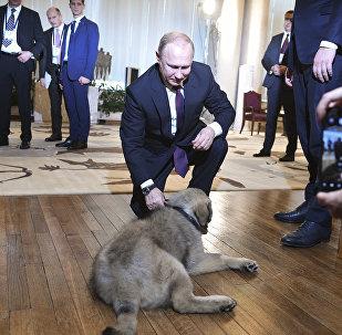 Sırbistan Devlet Başkanı Aleksandr Vucic'in Putin'e hediye ettiği İlirya çoban köpeği