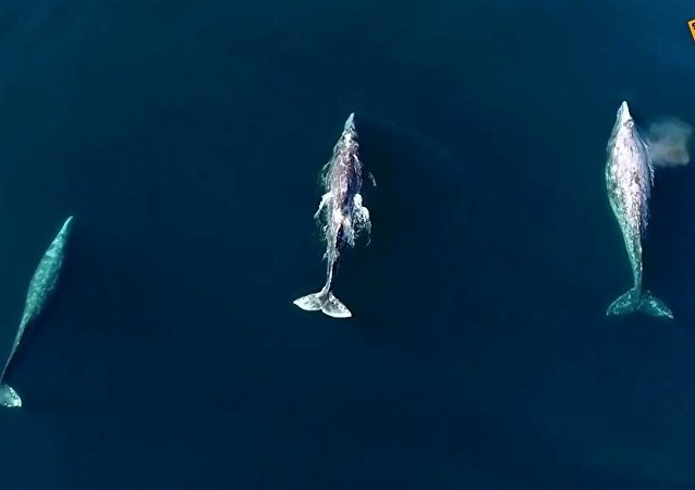 Kaliforniya açıklarında senkronize biçimde yüzen balinalara kuş bakışı