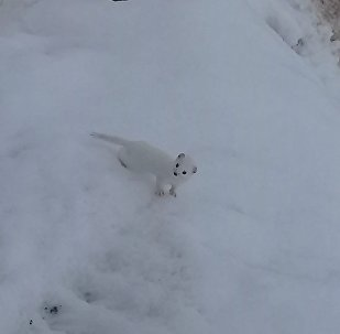 Beyaz Gelincik, Tunceli'de görüntülendi