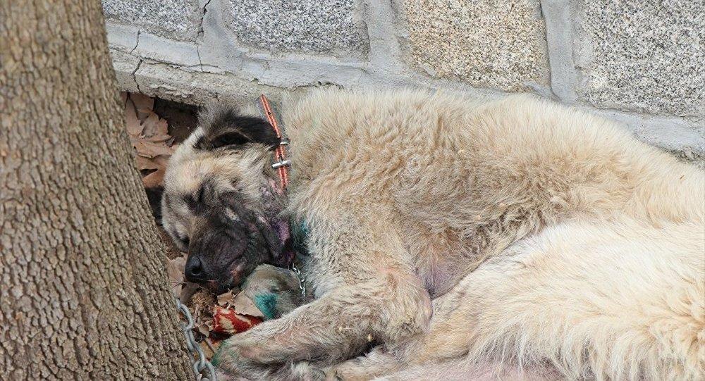 İzmir'de, bir köpeğin otomobilin arkasına iple bağlanıp sürüklendiği görüntünün sosyal medyada paylaşılmasının ardından köpeğin sahibi gözaltına alındı, köpek hayvanseverler tarafından veterinere götürüldü.