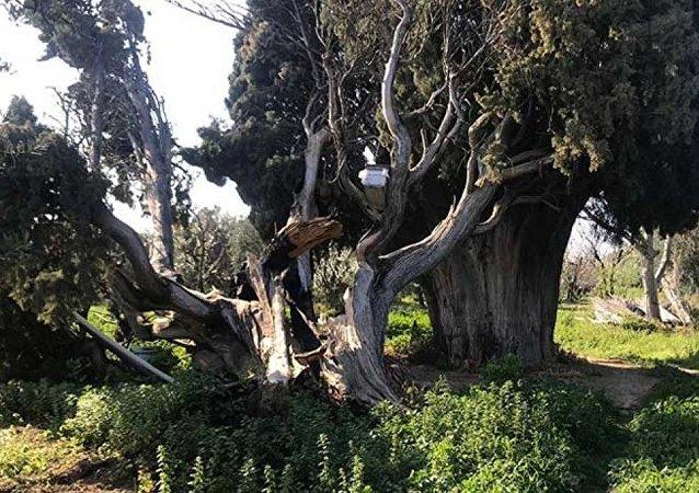 Bursa'da 700 yıllık anıt ağacı yaktılar