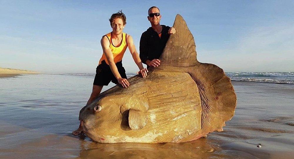 Avustralyalı balıkçılar dev bir balık buldu