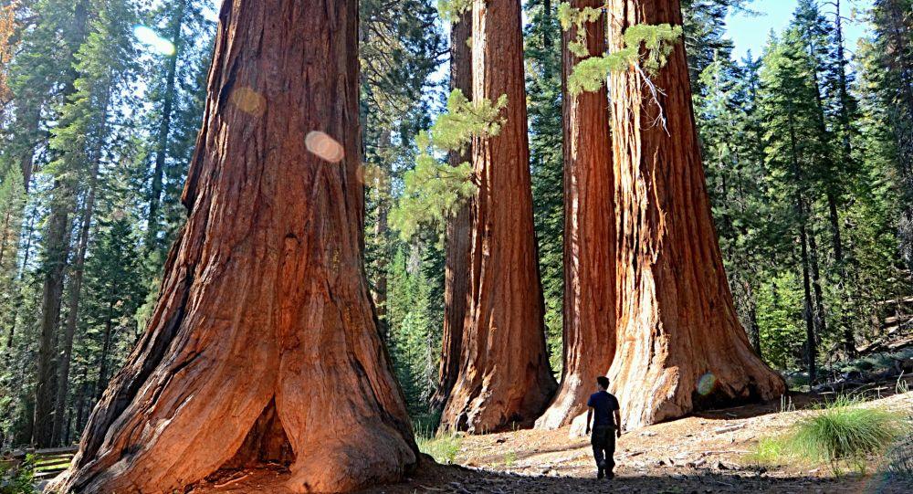 Kaliforniya'da geçen yılki yangından bu yana dumanı tüten bir Sekoya ağacı keşfedildi