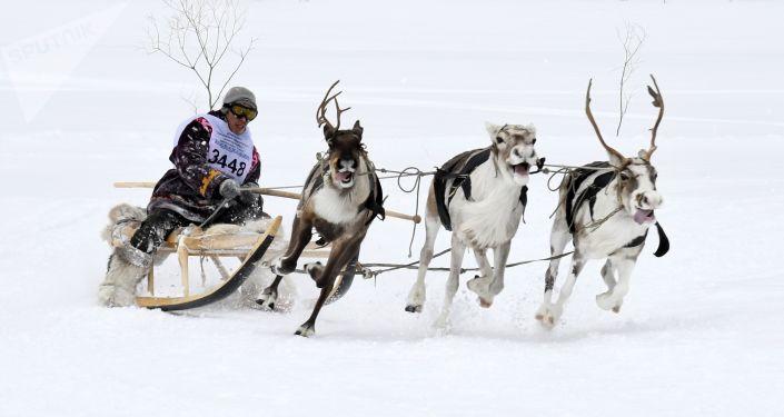 Rusya'da Ren Geyiği Çobanı Günü kutlamaları